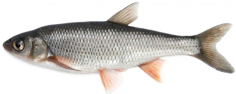 Products frozen fish manufacturer inmadurai tamil nadu for Best frozen fish