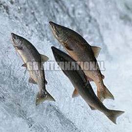 Indian salmon fish - photo#15