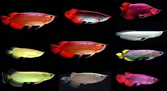 Buy quality super red arowana fish for sale from sangnok for Arowana fish for sale online