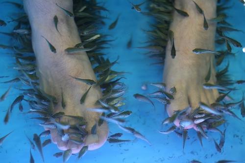 Garra rufa fish doctor fish manufacturer manufacturer for Fish eat dead skin spa