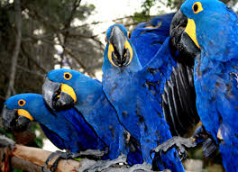 Blue Macaw Parrots Manufacturer In Thailand By Ahmado
