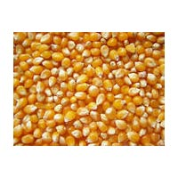 Maize M-888