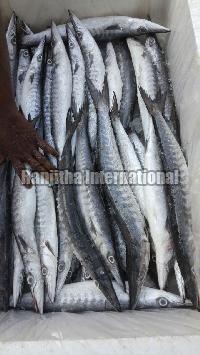 Fresh - Chilled  Barracuda Fish