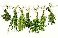 Culinary Herb