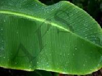 India Banana Leaf