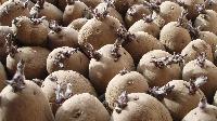 Bio Fertilizer Seeds Potato
