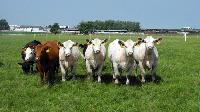 Agricultural Livestock