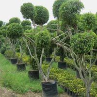 Ficus Multi Outdoor Plants