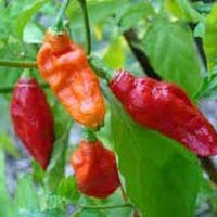 Fresh King Chilli