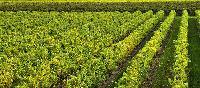 Semialata Plant
