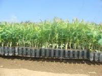 Eucalyptus Clone Plants