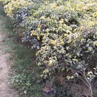 Ficus Regionald Plant