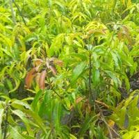 Alphonso Mango Plants