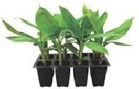 Banana T Culture Plants