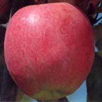 Fresh Ambri Apple