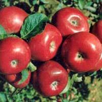 Fresh American Apple