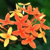 Fresh Rangan Flowers