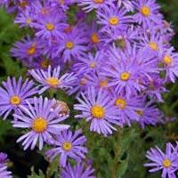 Fresh Aster Flowers