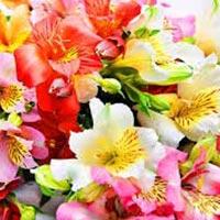 Fresh Lilies Flowers