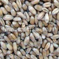 Animal Feed Wheat Seeds