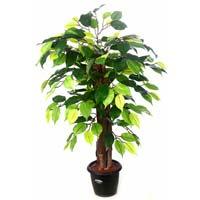 Ficus Plant N.stick 2'