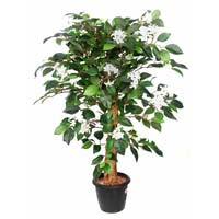 Jasmine Plant N.coffe Wood Stick2'