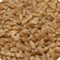 Certified Wheat Seed