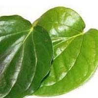 Piper Betel Leaves