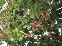 Bauhinia Purpurea Plant