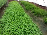 Brahmi Plant - Bacopa Monnieri