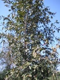 Cassia Fistula Plant