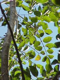 Commiphora Mukul Plant
