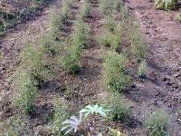 Kalmegh Plant