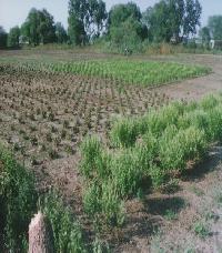 Spilanthes Acmella Plant