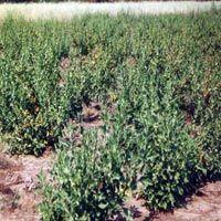 Ashwagandha Plant - Withania Somnifera
