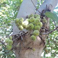 Ficus Glomerata
