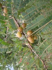 Phyllanthus Emblica Plant