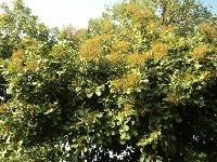 Sapindus Plant