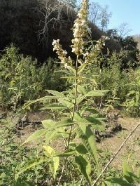 Vitex Negundo Plant