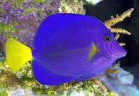 Marine Aquarium Fish -02 - Setu Madhav Sea Shell Export