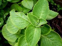 Herbal Medicinal Plant