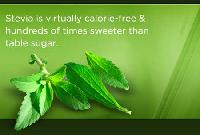 Stevia Plants (01)