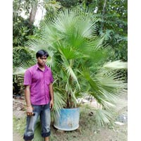 Acoelorrhaphe Wrighti,Palm Trees