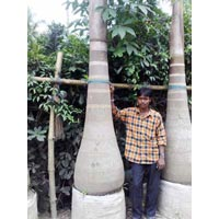 Bottle Palm - Manufacturer, Exporters and Wholesale Suppliers,  West Bengal - Ganga Nursery