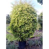 Ficus Pestige