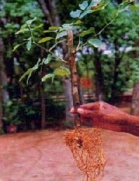 Karanja Plants