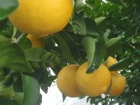 Seedless Lemon Plants