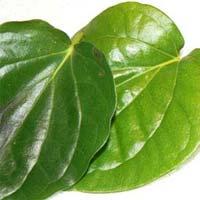 Piper Betel Leaf