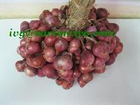 Shallot Red Onion