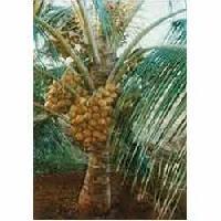 Hybrid Coconut Plant